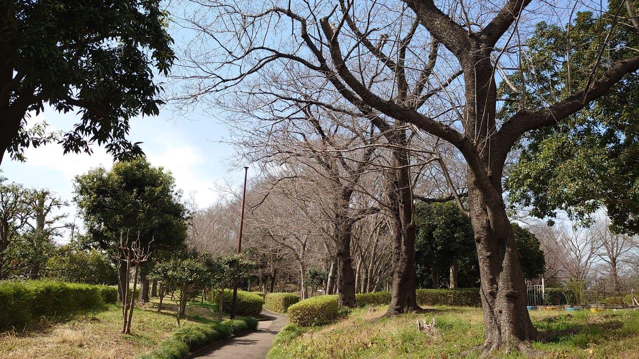 日野中央公園の桜