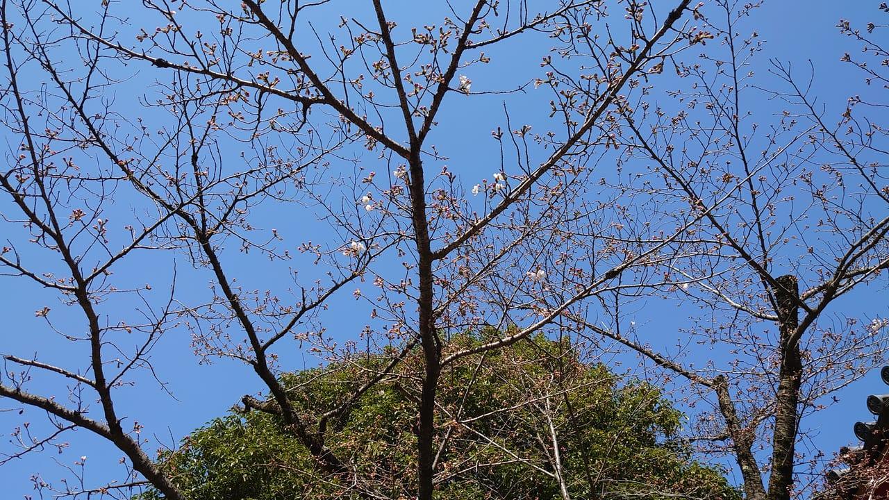 高幡不動尊にある「日野市さくら標本木」の2020年開花状況