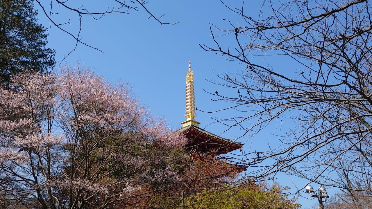 2020年高幡不動尊の桜開花状況